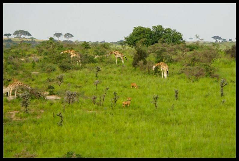 Giraffes and Hartebeests
