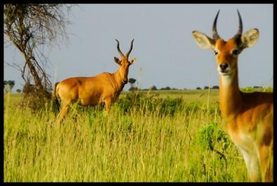 Hartebeest and Uganda Kob