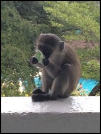 Monkey Thief