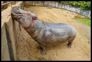 Meditating Hippo