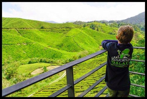 Cameron Highland Tea Fields