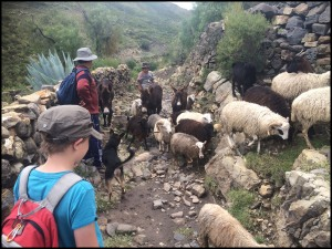 Sheep crossing during the hike.