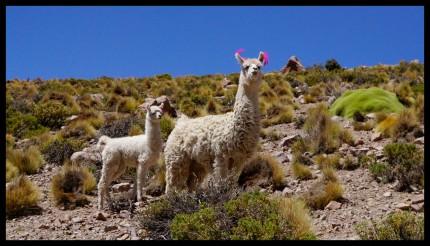 Llama mama and baby