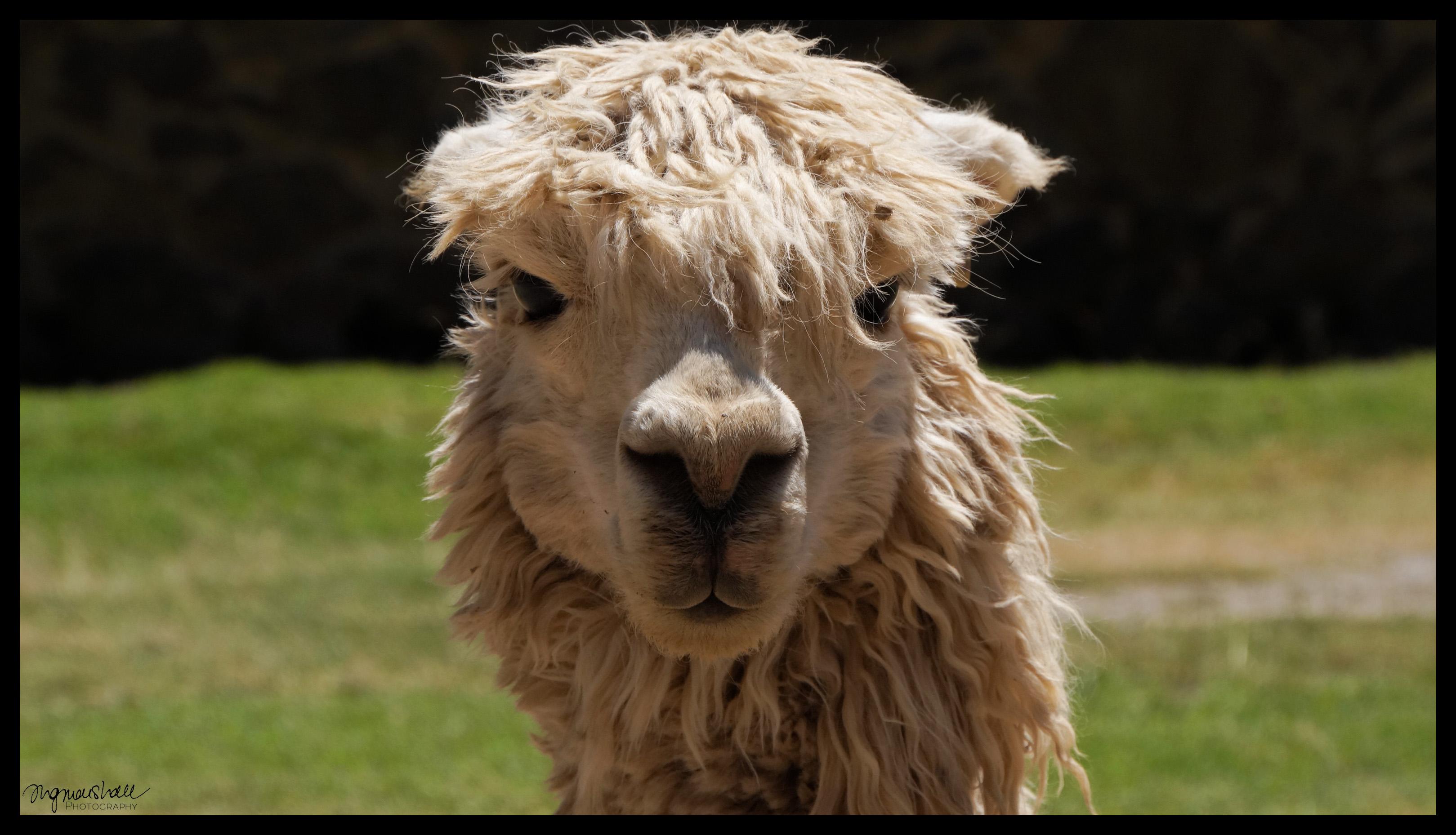 Alpaca Face Alpaca Face –...
