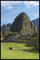 Llamas grazing the field in front of Wayna Picchu