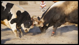 Bull Heads