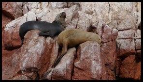 Lazy Sea Lions