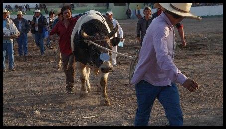 The winning bull