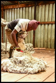 Sheep Shearing. All done by hand!