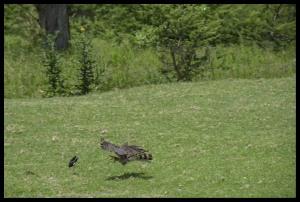 kite-hunting