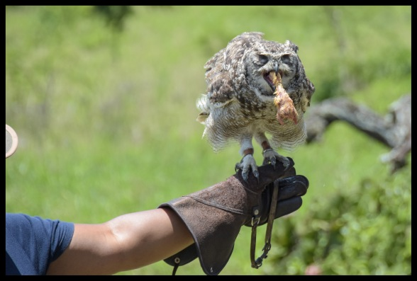 Eagle Owl eating