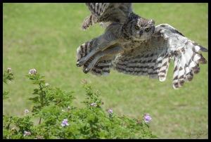 nando-owl